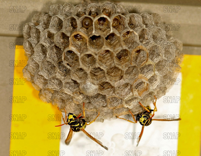 Northern Paper Wasp (Polistes fuscatus)