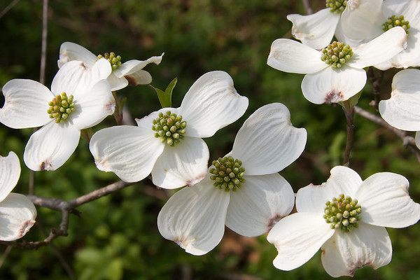 White Dogwood Blooms