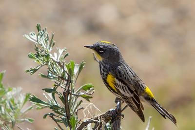 Yellow-ramped Warbler