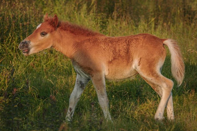 Wild Pony Foal #1, MR