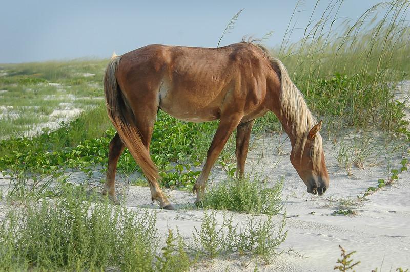 Wild Horse Grazing on Sand Dune #2 CI