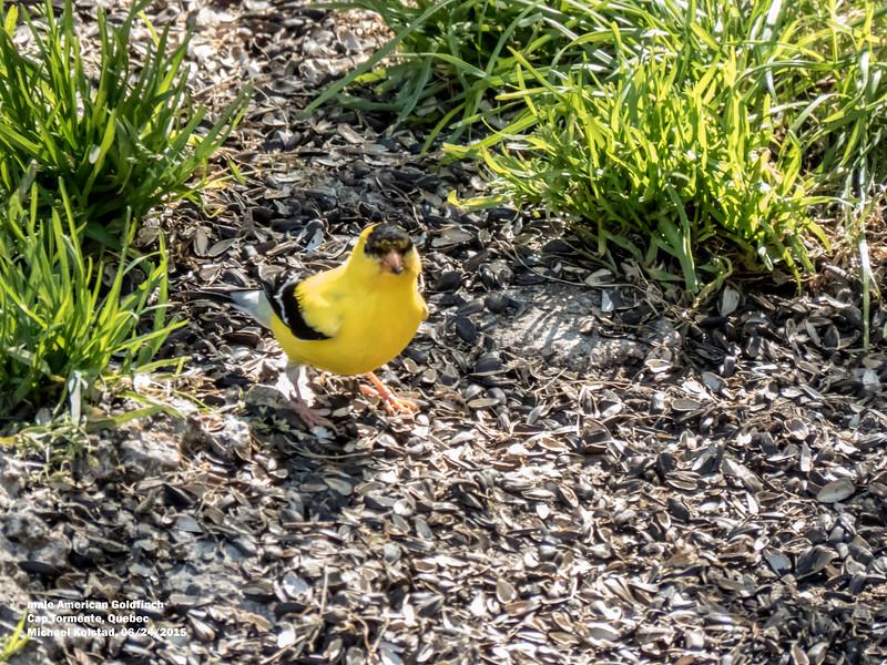 a624 1538 IMG_1130 3T ml American Goldfinch Cap Tormente Quebec.jpg