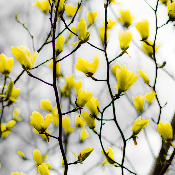 Yellow Magnolias Blooming-.jpg
