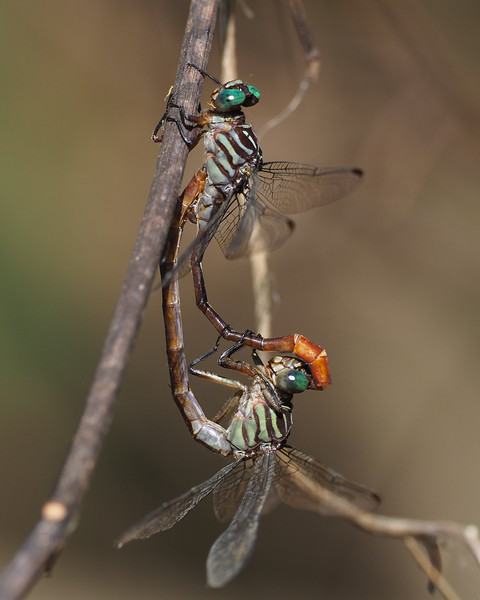 Russet-tipped Clubtails