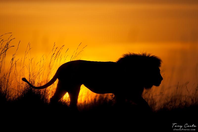 Lion at Sunrise