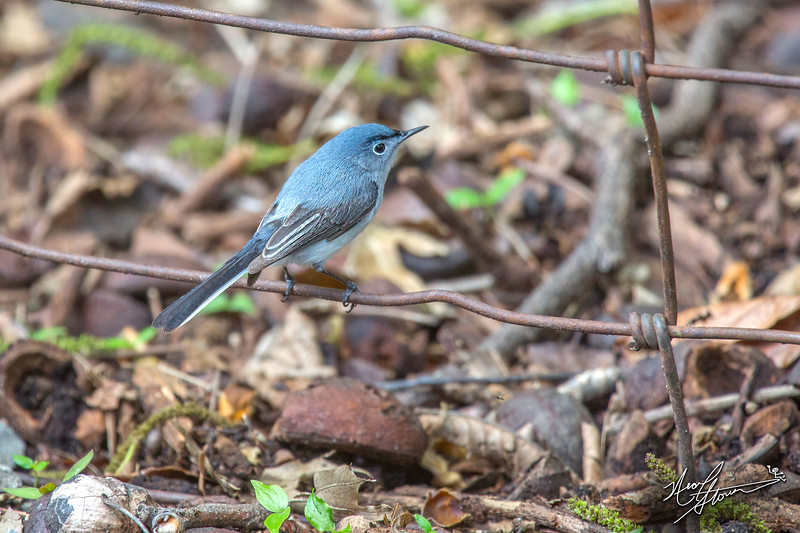 Blue-Gray Gnatcatcher2.jpg