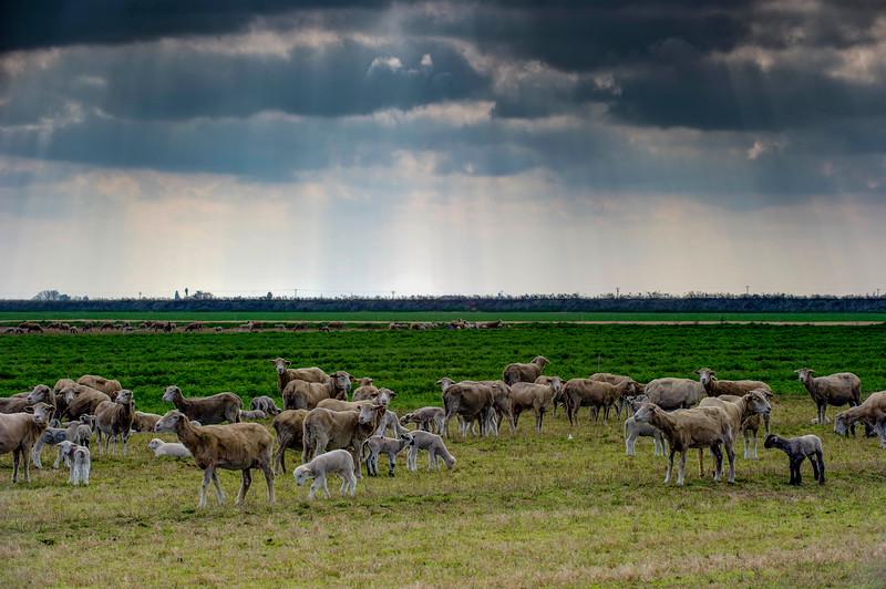 Sheep-7.jpg