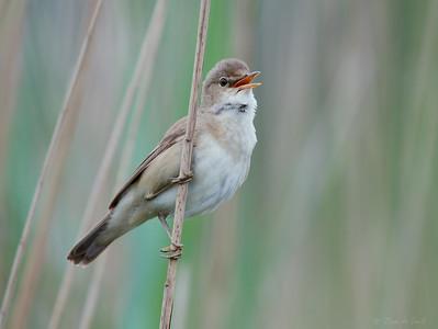 Reed Warbler / Kleine Karekiet / Acrocephalus scirpaceus