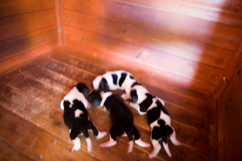 Bagel Hounds 5 days old.  Suki is in the middle with the brown body and white around her neck.