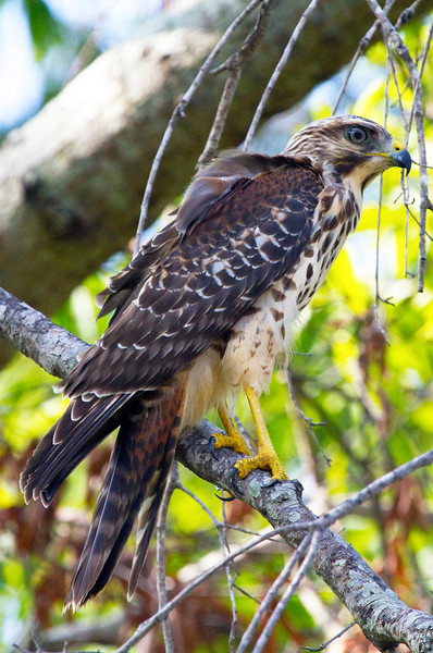 Red-shouldered hawk in a tree by Meyerland Basin, Houston