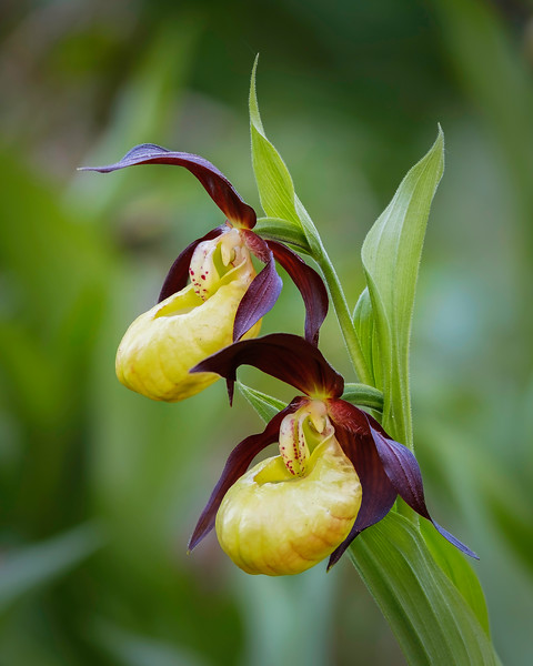 LADY'S SLIPPER ORCHID-ART27261-Edit.jpg