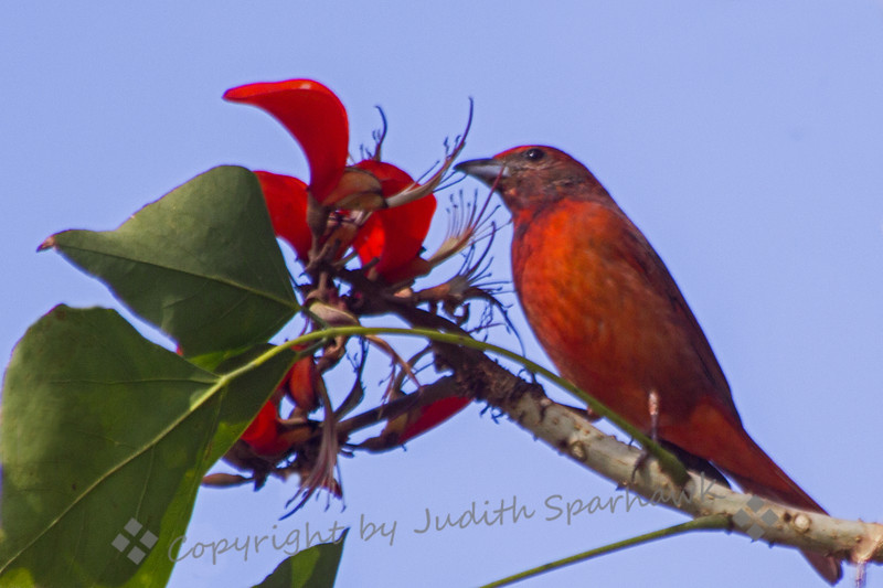 Hepatic Tanager ~ This beautiful red bird is usually seen in the mountains of the southwest.  It is very rare in Southern California.  This one was photographed in Imperial Beach, California, in this Coral Tree where it has wintered for the last few years.