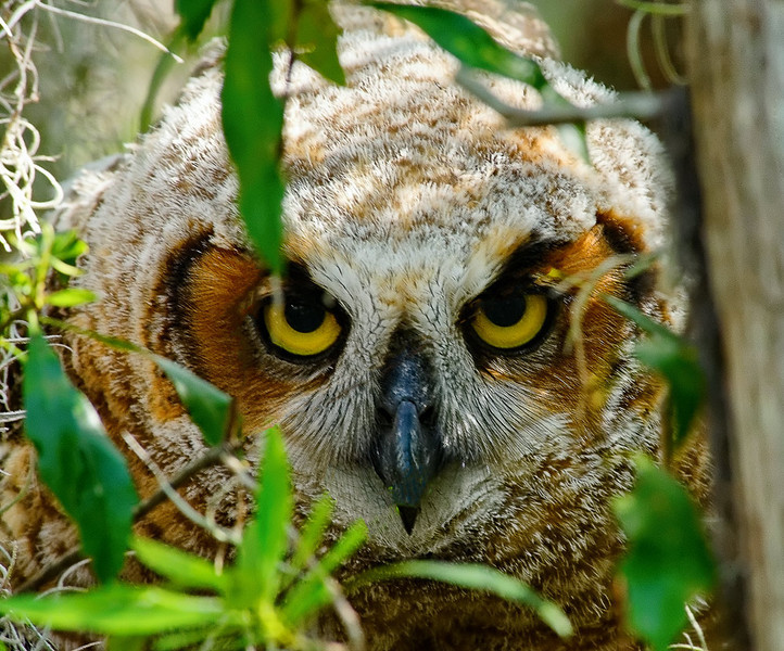 Bard-Owl_120327_0683_DxO.jpg