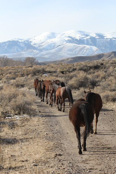 The Owyhee herd on a walkabout, Idaho