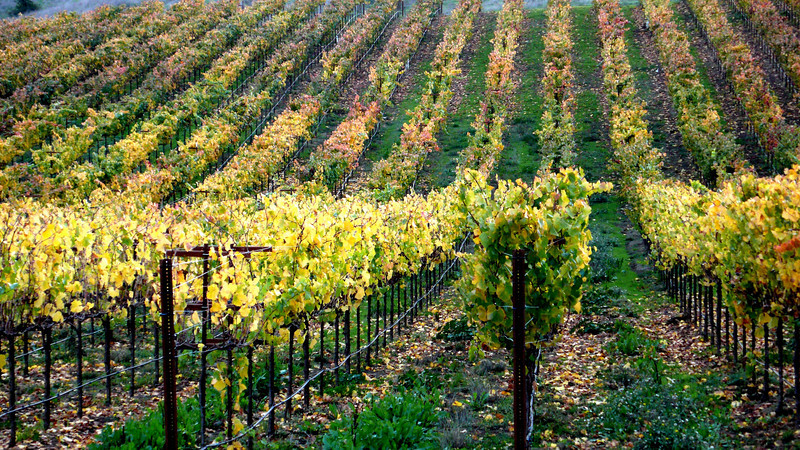Autumn Vineyards