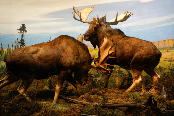 Hunting in AMNH