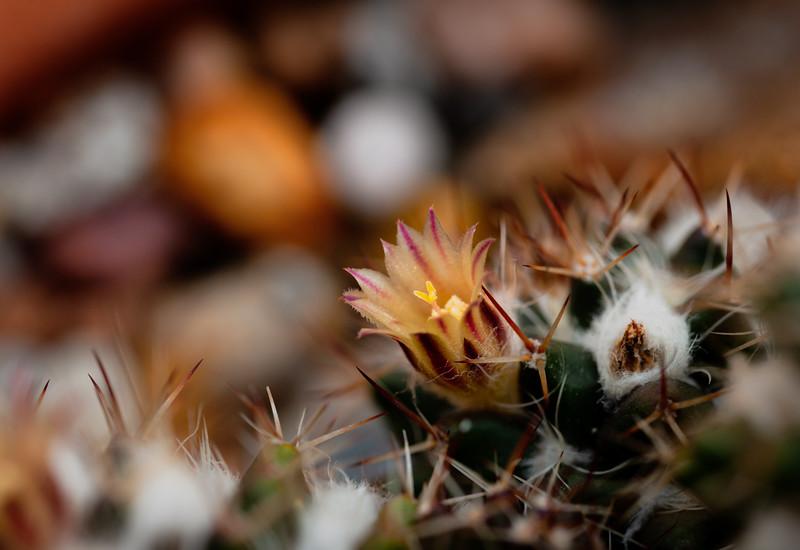 cactus flower 042520-2521.jpg