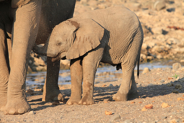 Elephants Mashatu Botswana 2013