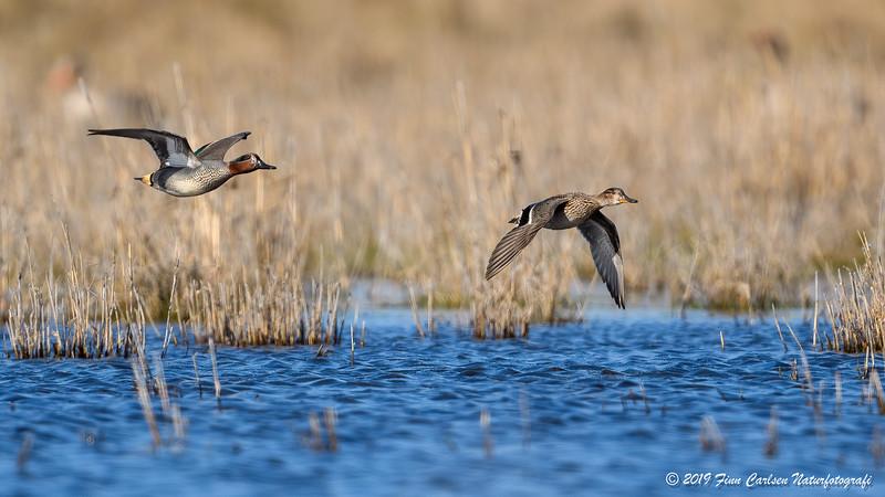 Krikand - Anas crecca - Eurasian teal