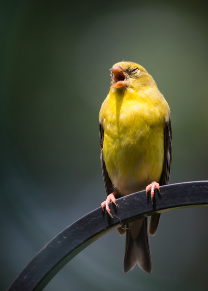 web singing goldfinch.jpg