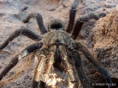 Baboon Spider (Harpactira marksi)
