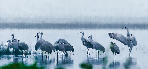 Sandhill Cranes at Woodbridge CA