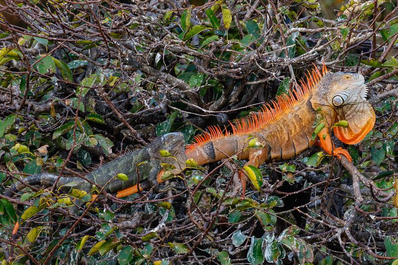 Iguana Pair -3310.jpg