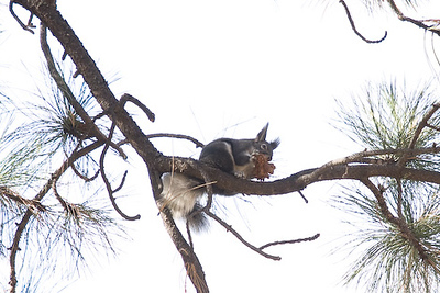 Cutest squirrels ever - Abert's Squirrels (little tufts of fur on their ears)