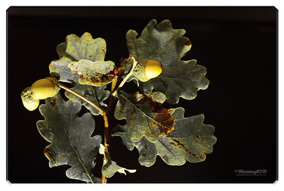 Shades of Oak
