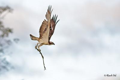 Osprey at La Mesa Watershed (19 Dec 2009)