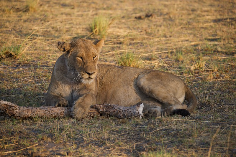 lions near a recent kill, Shinde camp, Botswana