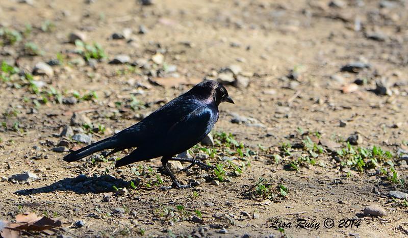 Brewer's Blackbird - 12/29/2014 - Lindo Lakes