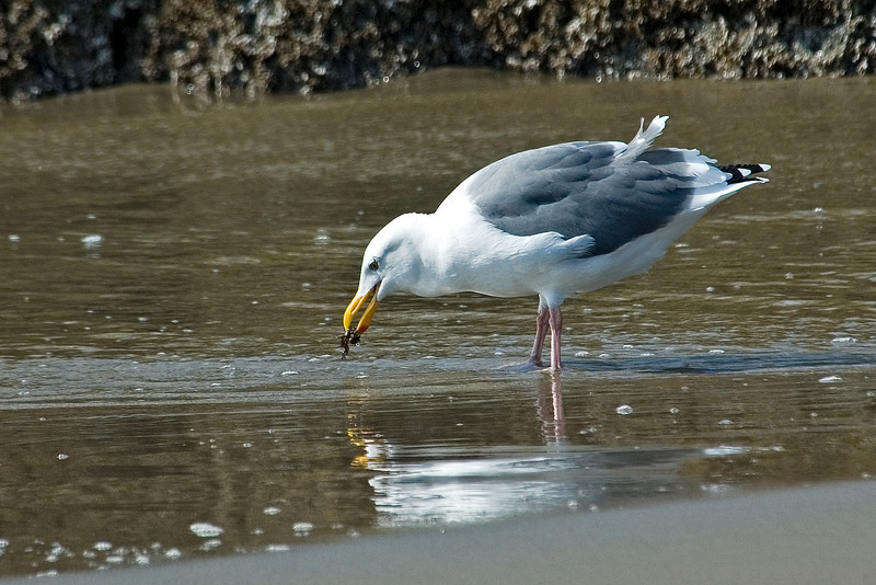 Gull - Western - Bandon, OR - 01