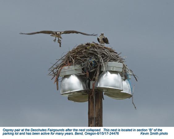 Ospreys P24476.jpg