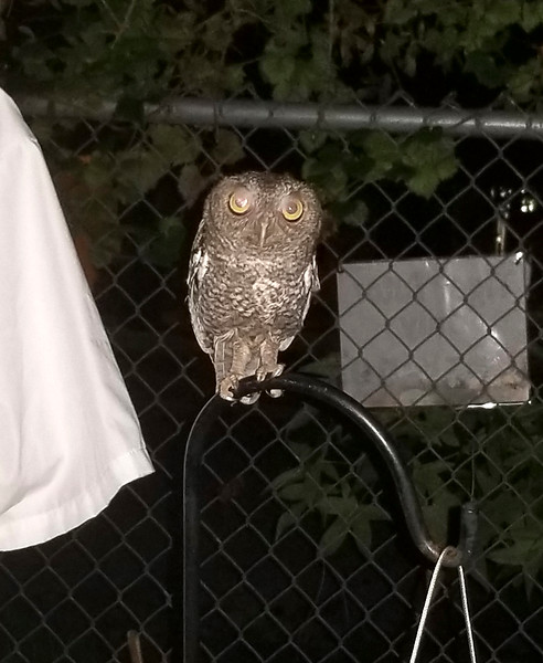2_22_20 Screech Owl In Backyard Every Night.jpg