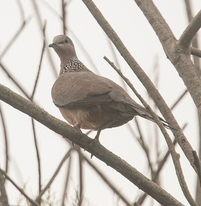 Spotted Dove 10-3-18 TRV