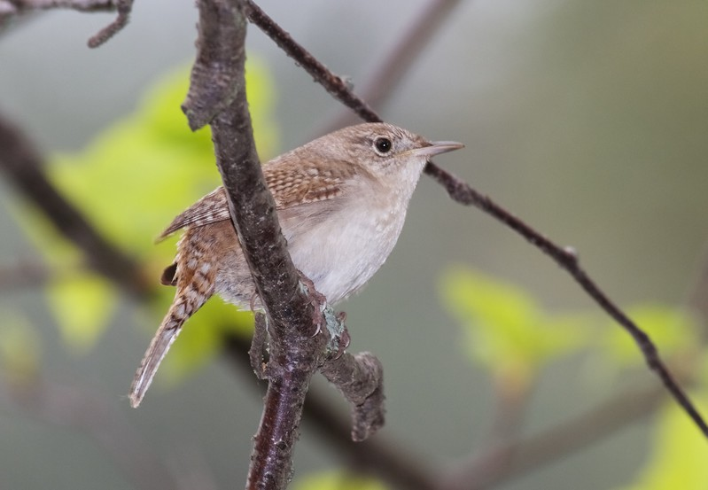 House Wren Park Point Duluth MN IMG_0020250.jpg
