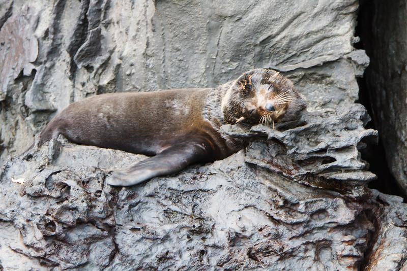 Galapagos Fur Seal at Prince Phillip's Steps, Genovesa, Galapagos, Ecuador (11-25-2011) - 252.jpg