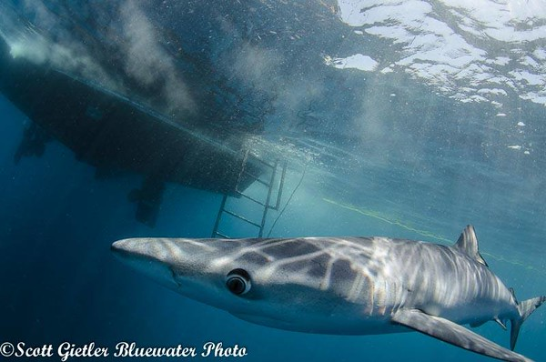Bluewater Photo Blue Shark trip 2014