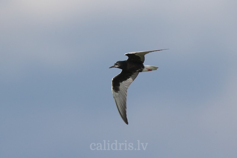 White-winged tern, adult, summer