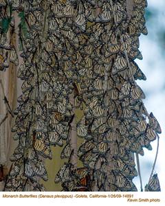 MonarchButterflies14891.jpg