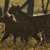 Backlit tigress and cub