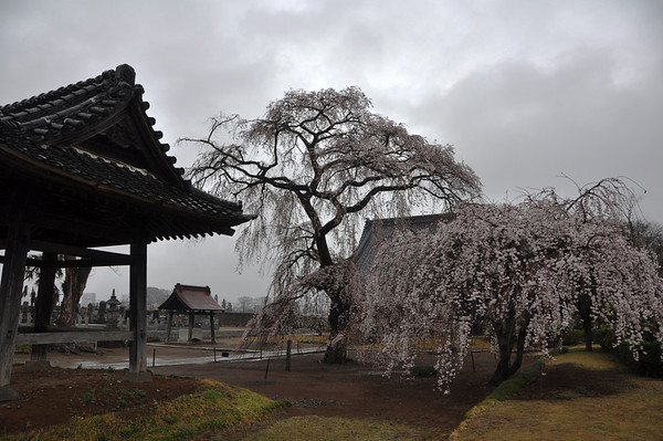 Sakura in the Rain - 3 April 2014 (47)