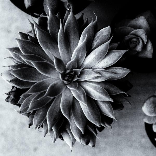 succulent 9218-.jpg