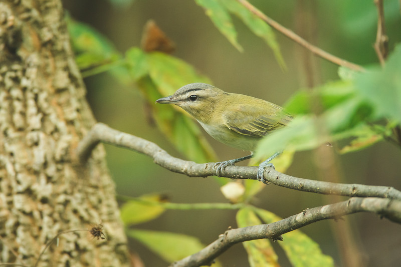 A red-eyed vireo at the celery bog in west lafayette, indiana