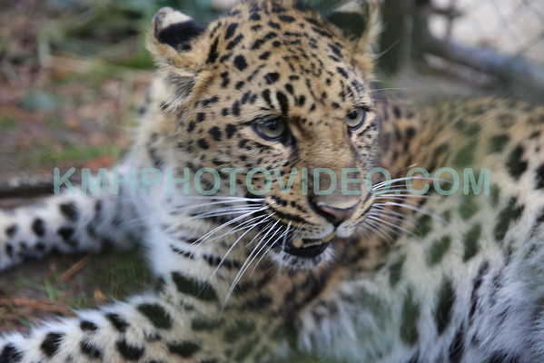 Amur Leopard at Tallahassee Museum