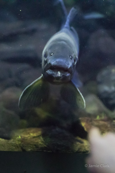 Fish with Human Face @ New England Aquarium - Winter Break in Boston 2016-17