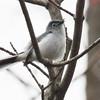 Blue Grey Gnatcatcher<br /> Buttercup Sanctuary