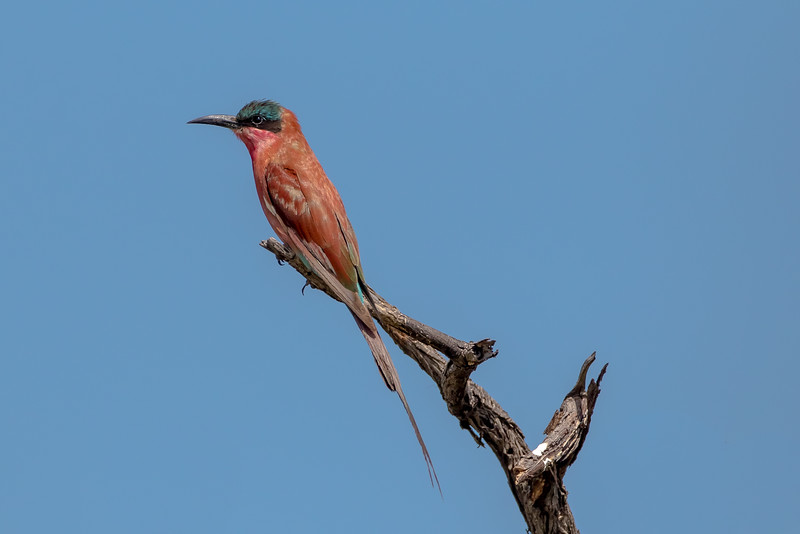 Southern Carmine Bee-eater (Merops nubicoides)