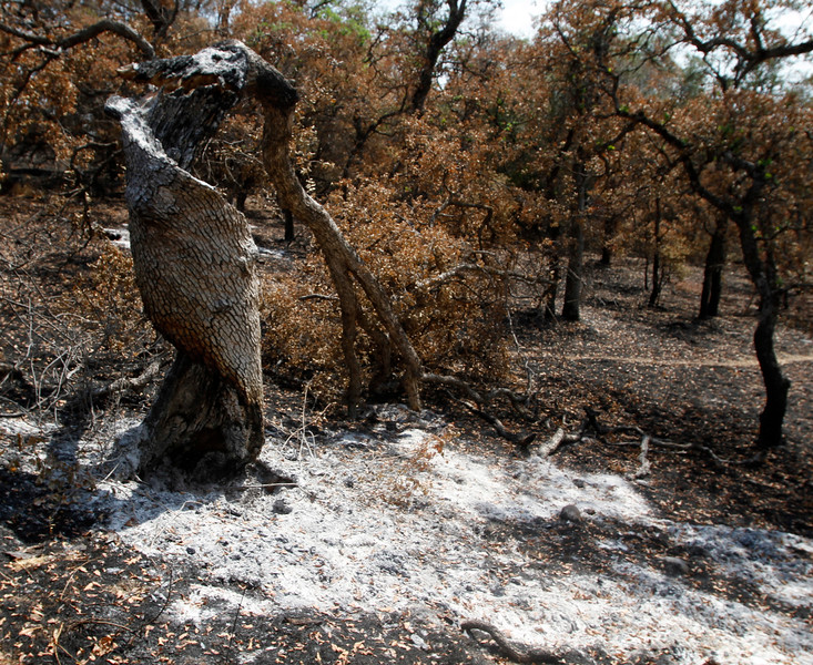 Burned and twisted, a tree at hole No. 17. The Peregrine Point Disc Golf Course was scorched by the Stoney Fire. The charred course is seen Tuesday, Aug. 14, 2018, in Chico, California. (Dan Reidel -- Enterprise-Record)
